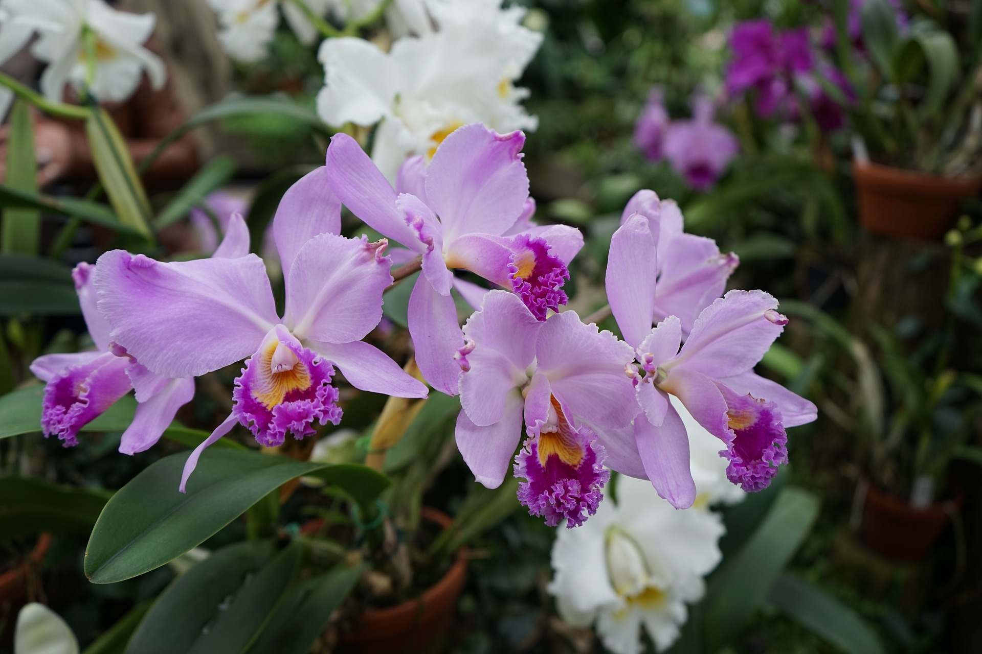 orchid-930421_1920