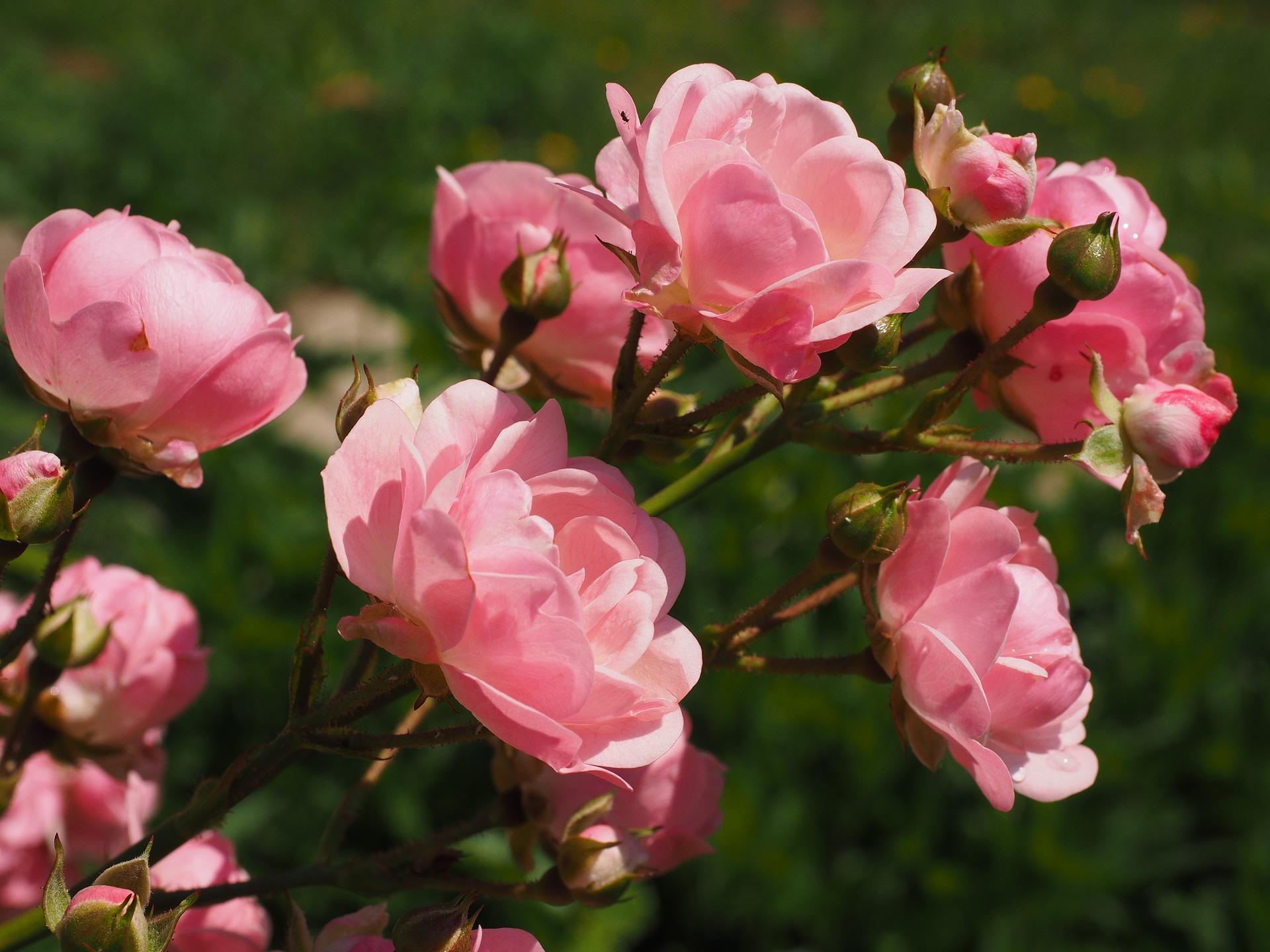 roses-2117370_1920