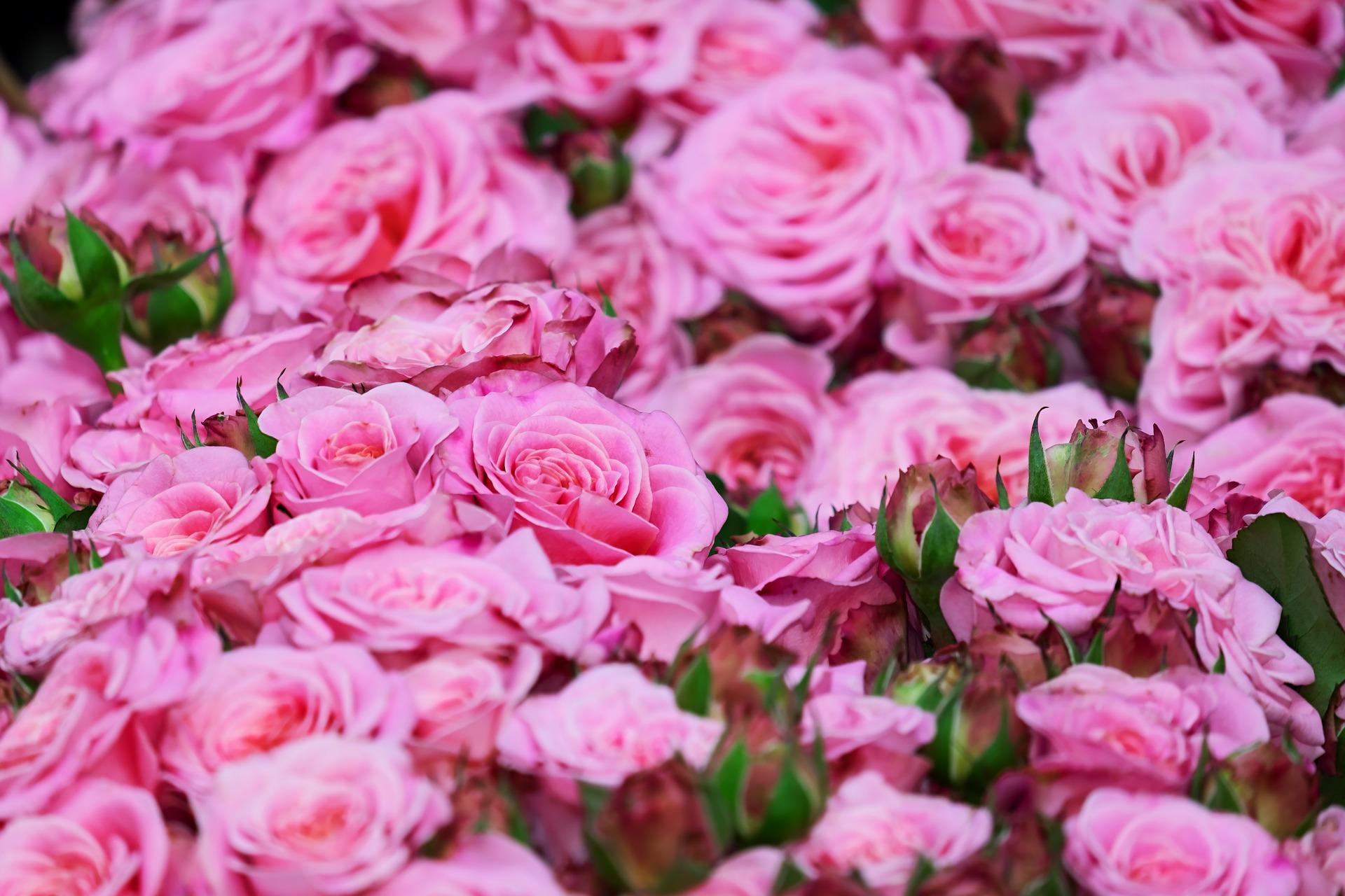 roses-3436439_1920